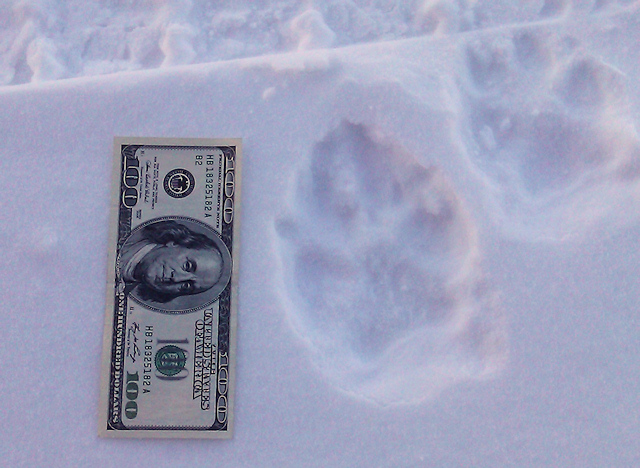 Wolf Track compared to the size of a dollar bill