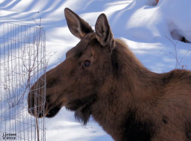 Alert Moose