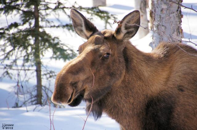 Lady Moose