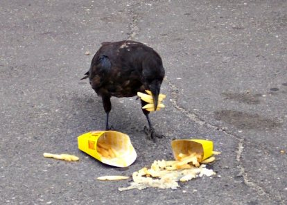 Raven eating french fries