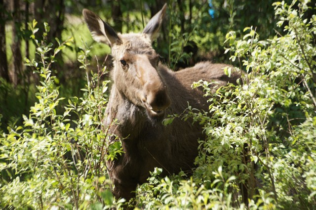 Yearling Moose