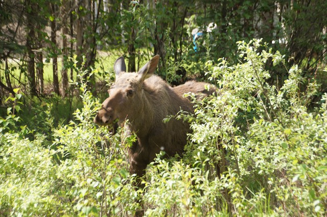 Yearling Moose eating willow