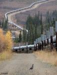 Spruce Grouse near the Trans-Alaska Pipeline