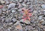 Autumn Fireweed