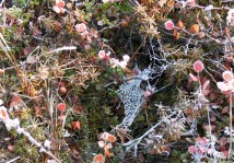 Frosty spiderweb on tundra