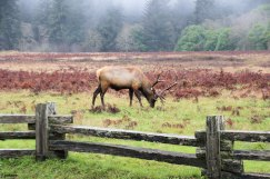 Elk on the Newton B. Drury Scenic Parkway