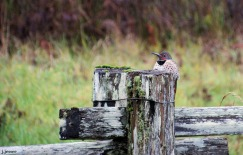 Northern Flicker thrown in for good measure