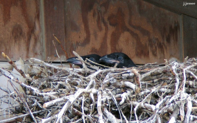 Raven young in nest