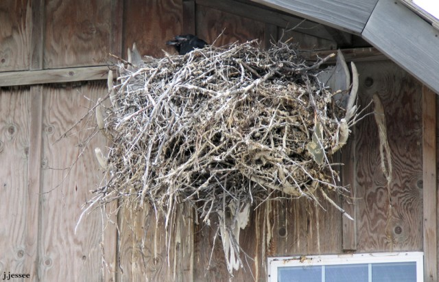 Ravens nest in a set of moose antlers