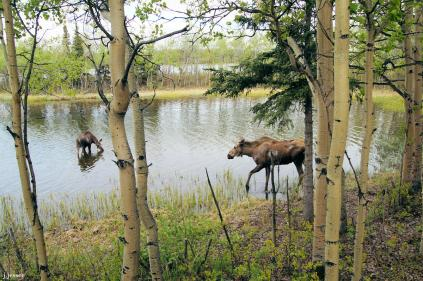 The cow moose on the right chased the smaller one, her yearling, away. He doesn't look too scared but she charged at him several times.