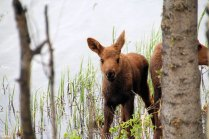 Cow moose with twins