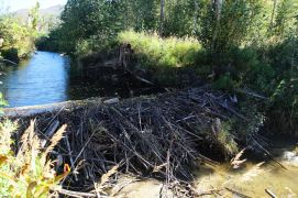 Beautiful (and effective) beaver dam right next door.