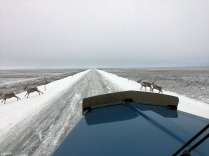 Caribou crossing the Dalton Highway