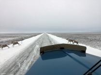 Caribou crossing the Dalton Highway
