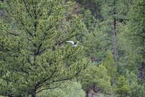 A great blue heron flapping it's wings in the breeze, practicing?